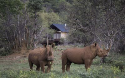 Rhino Conservation Experiences Introduced at Tintswalo Lapalala